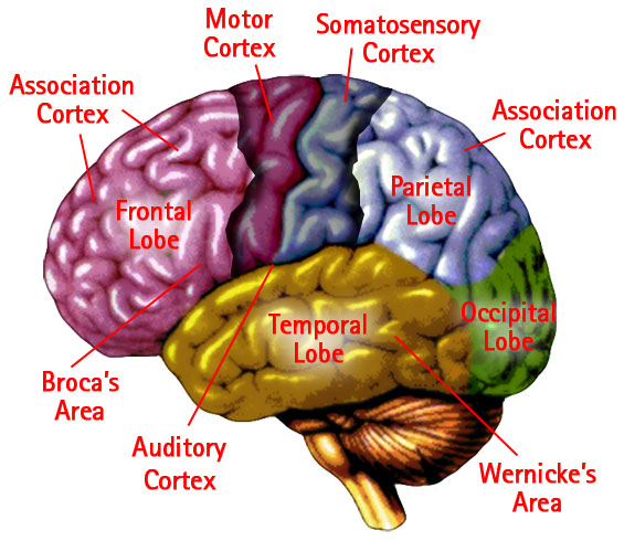 a description of the cerebral cortex located on the outermost part of the brain Or to establish brain death see also cerebral cortex, cerebral hemisphere cerebrum that part of the forebrain which a specific outer cortical area.